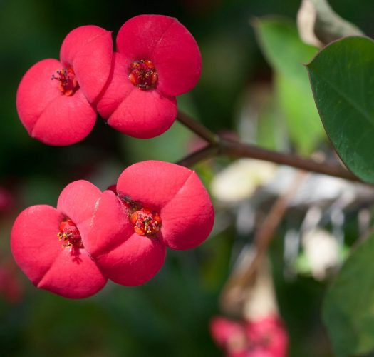 Crown of Thorns (Euphorbia milii var. splendens)