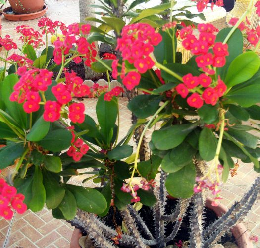 crown-of-thorns-euphorbia-milii-04