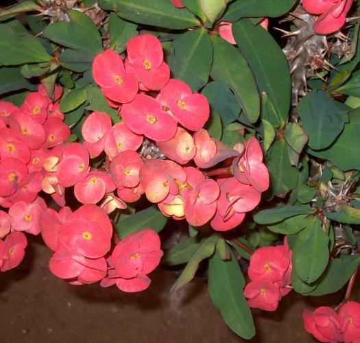 crown-of-thorns-euphorbia-milii-05