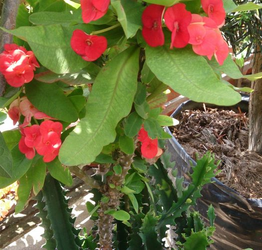 crown-of-thorns-euphorbia-milii-07