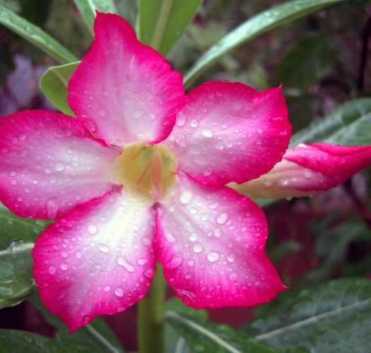 desert-rose-adenium-obesum-10