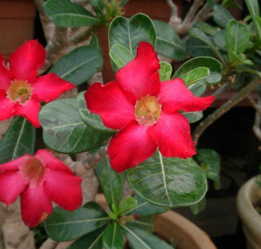 desert-rose-adenium-obesum-11
