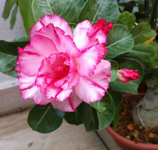 desert-rose-adenium-obesum-14