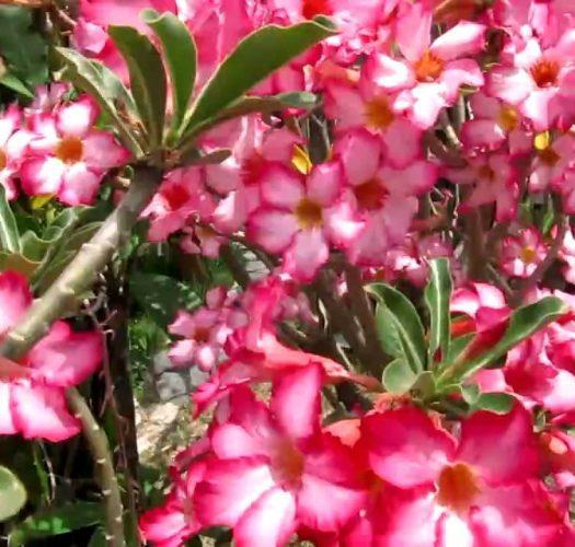 desert-rose-adenium-obesum-15