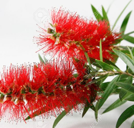 flowering-bottlebrush-callistemon-citrinus-01