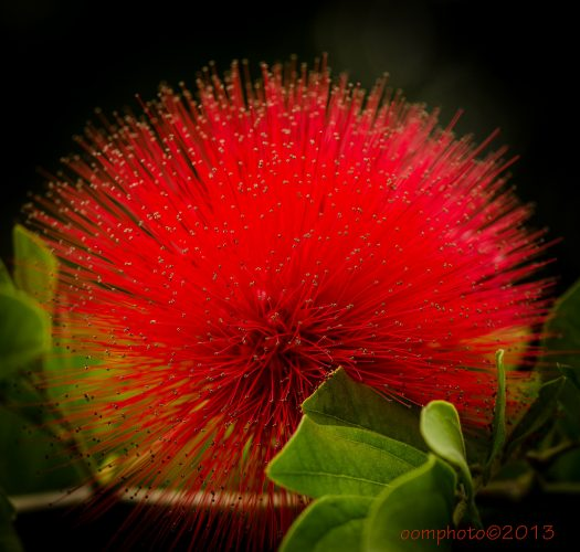 flowering-bottlebrush-callistemon-citrinus-02