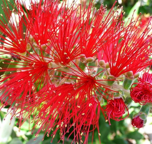 flowering-bottlebrush-callistemon-citrinus-05