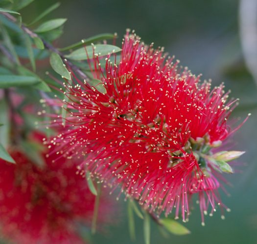 flowering-bottlebrush-callistemon-citrinus-09