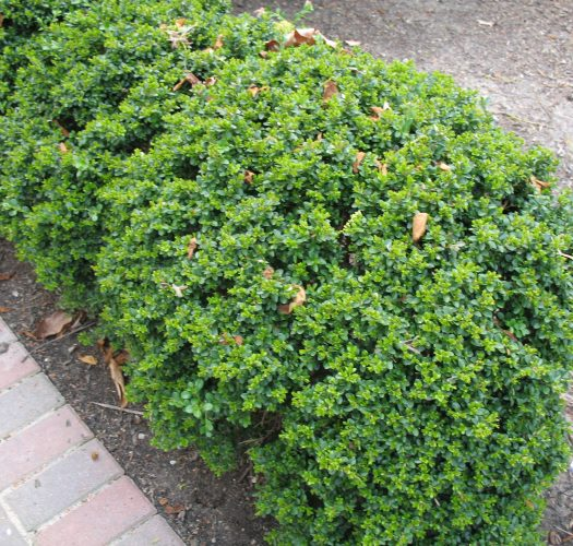 japanese-kingsville-boxwood-buxus-microphylla-01