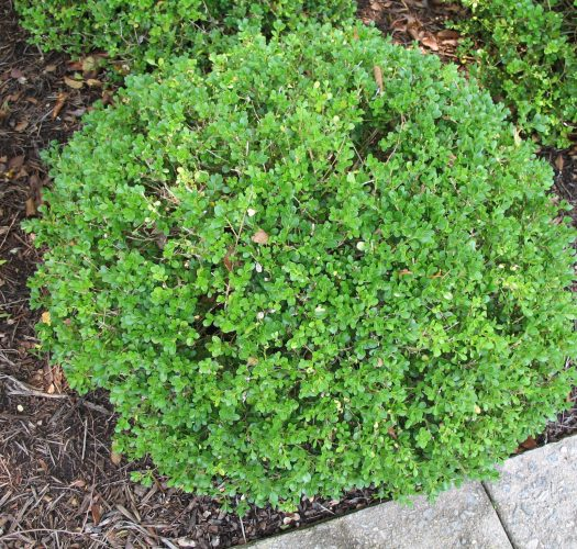 japanese-kingsville-boxwood-buxus-microphylla-02