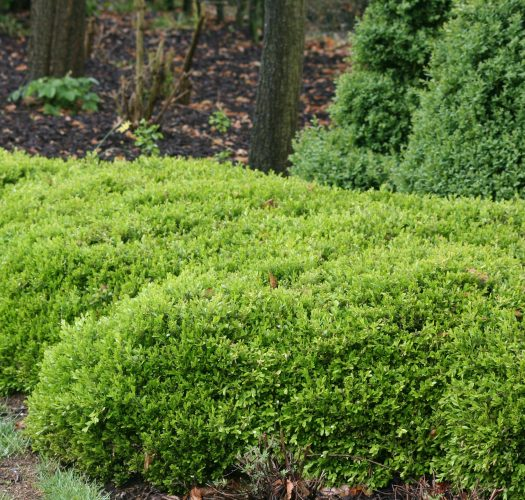 japanese-kingsville-boxwood-buxus-microphylla-03