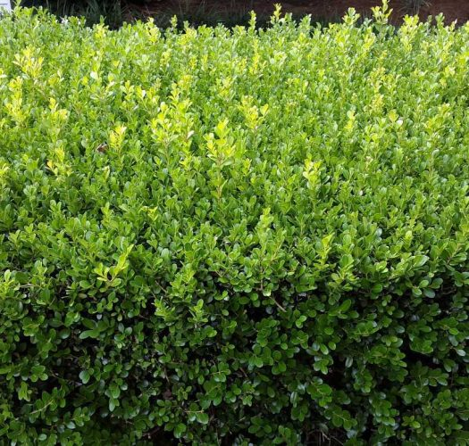 japanese-kingsville-boxwood-buxus-microphylla-05