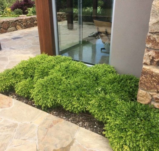 japanese-kingsville-boxwood-buxus-microphylla-06