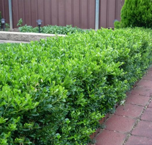 japanese-kingsville-boxwood-buxus-microphylla-09