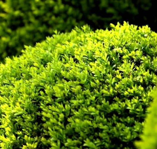 japanese-kingsville-boxwood-buxus-microphylla-10
