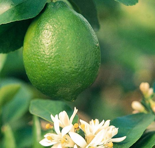 key-lime-citrus-aurantifolia-01
