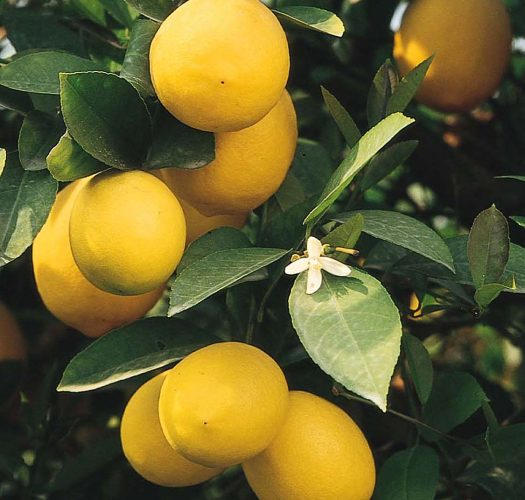 lemon-citrus-meyer-lemon-01