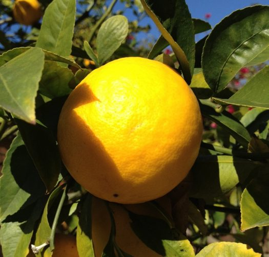 lemon-citrus-meyer-lemon-02