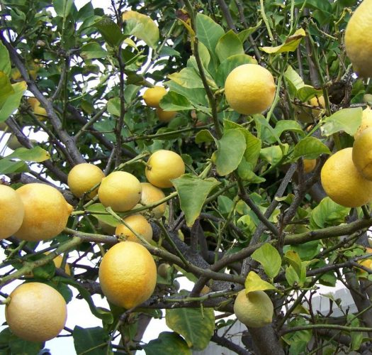 lemon-citrus-meyer-lemon-04