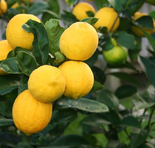 lemon-citrus-meyer-lemon-05