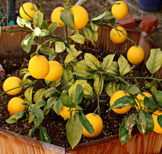 lemon-citrus-meyer-lemon-07