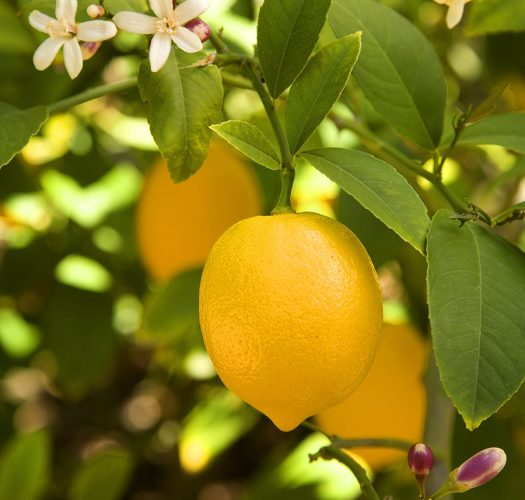 lemon-citrus-meyer-lemon-09
