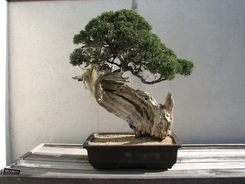 Age in the aesthetics of bonsai
