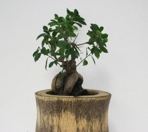 Bonsai Feng Shui