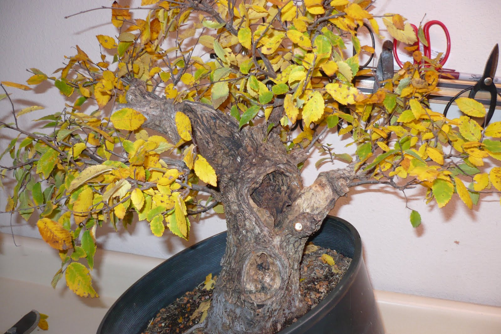 How To Care For A Bonsai Tree If Turning Yellow Gardener Wiring Yew Leaves