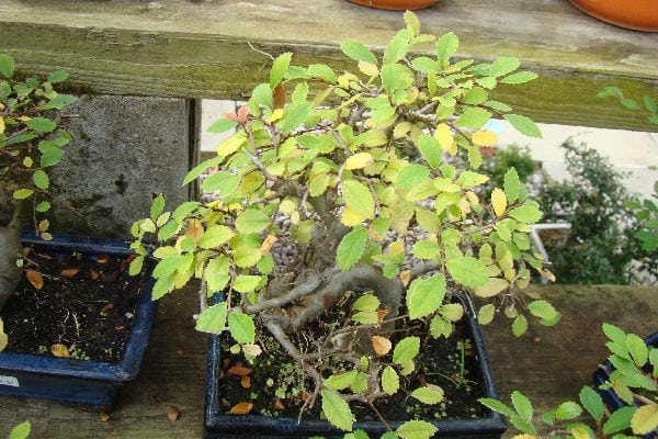 5 Manage Bonsai Tree Stress Leaves Turning Yellow