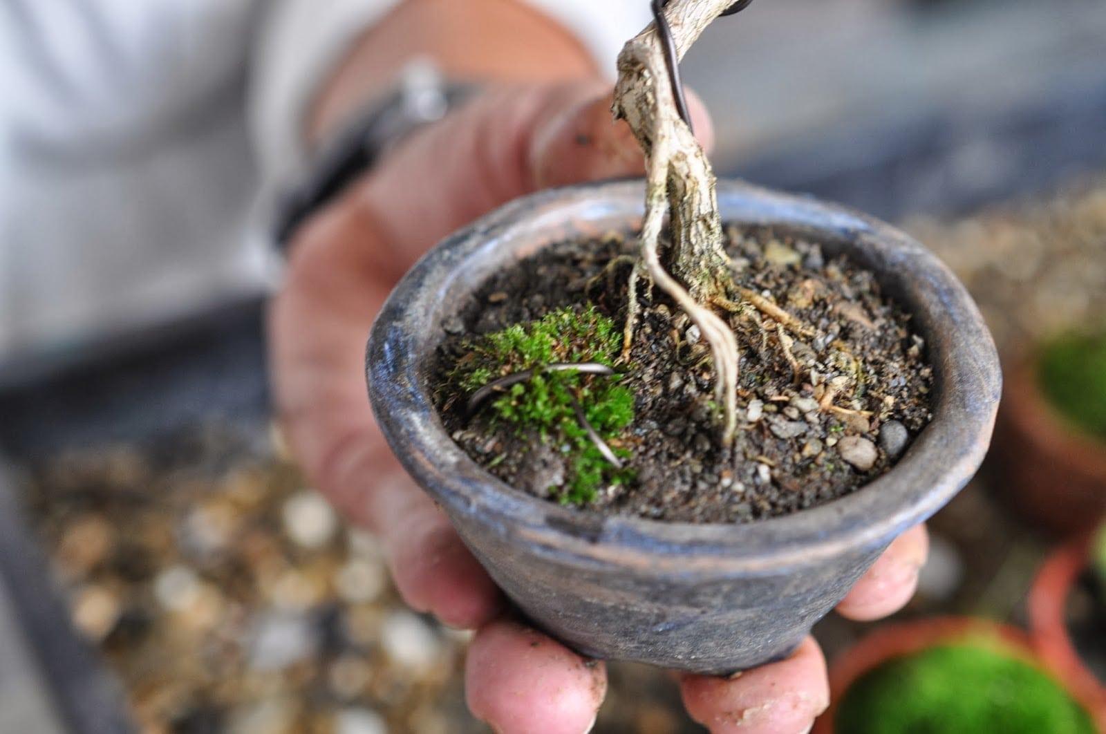 Bonsai Soil: A Comprehensive Guide | Bonsai Tree Gardener