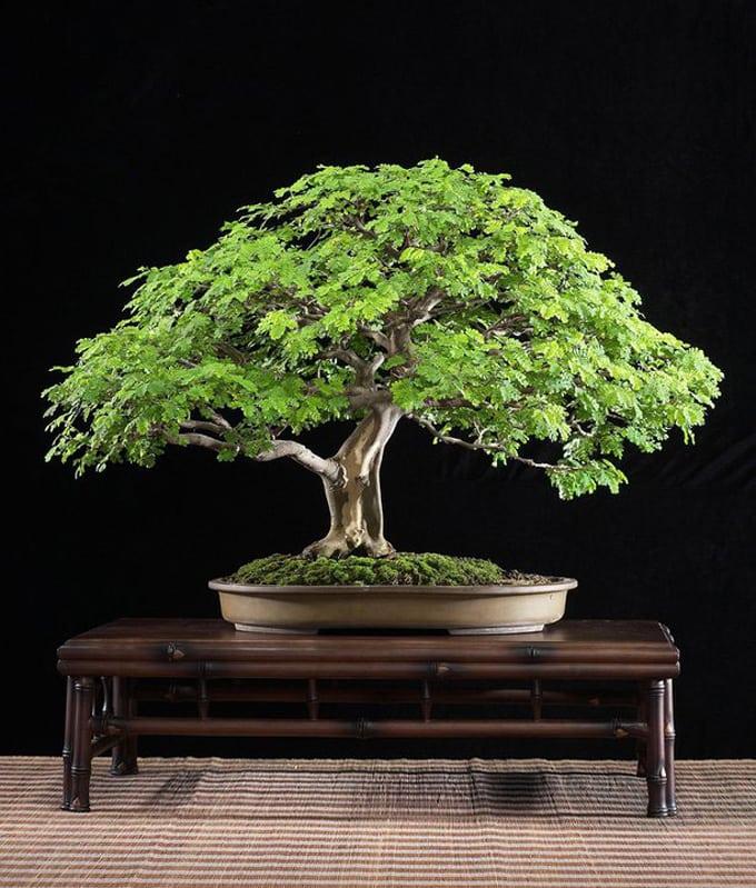 Brazilian Rain Tree Budi Sulistyo