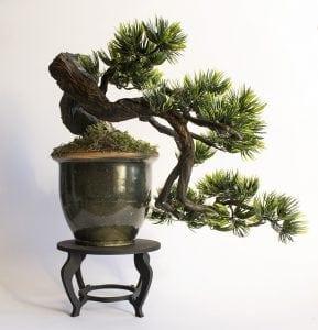 Cascade bonsai style (kengai)