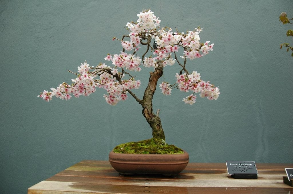 Cherry blossom bonsai trees bonsai tree gardener 1 understand fast facts about cherry blossom bonsai trees mightylinksfo