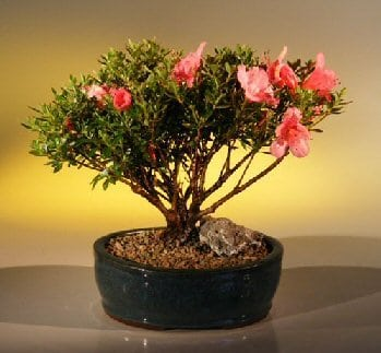 Chinzan Azalea Make Your Own Bonsai Tree