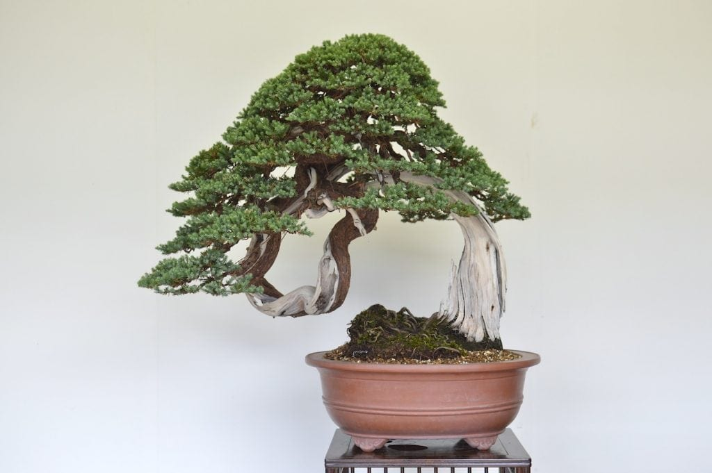 Coniferous Bonsai Tree