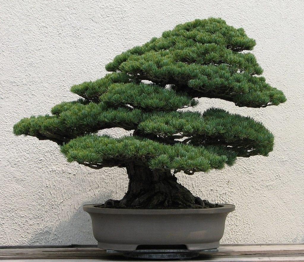Evergreen Bonsai Trees Bonsai Tree Gardener
