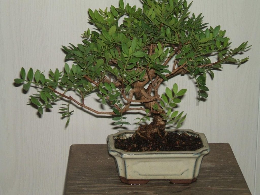 Evergreen Bonsai Tree