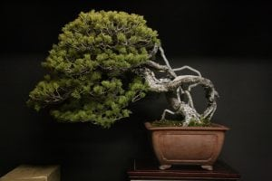 Exposed root bonsai style (neagari)
