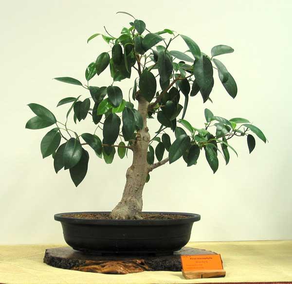 Ficus macrophylla bonsai