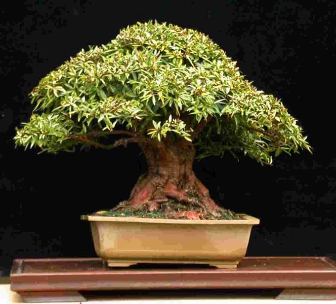 Ficus salicifolia Bonsai