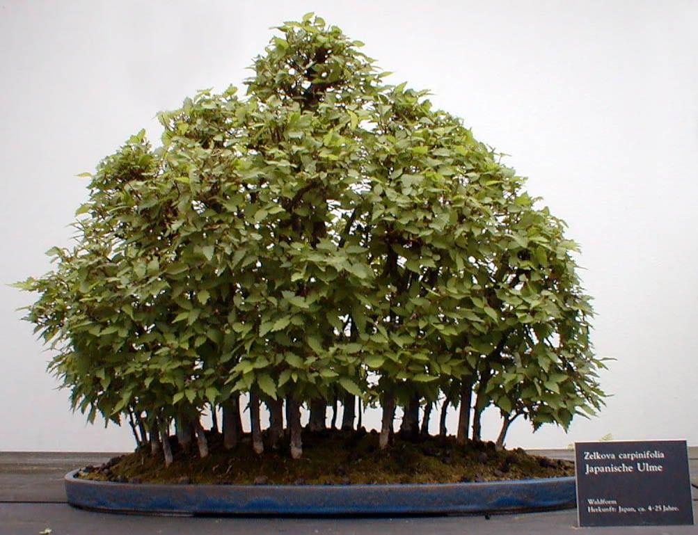 Forest bonsai style (yose-ue)