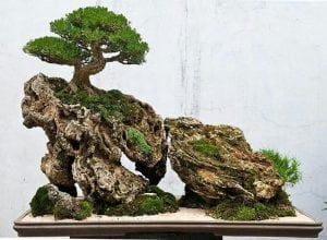 Growing in a rock bonsai style (Ishisuki)