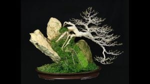 Growing on a rock bonsai style (seki-joju)