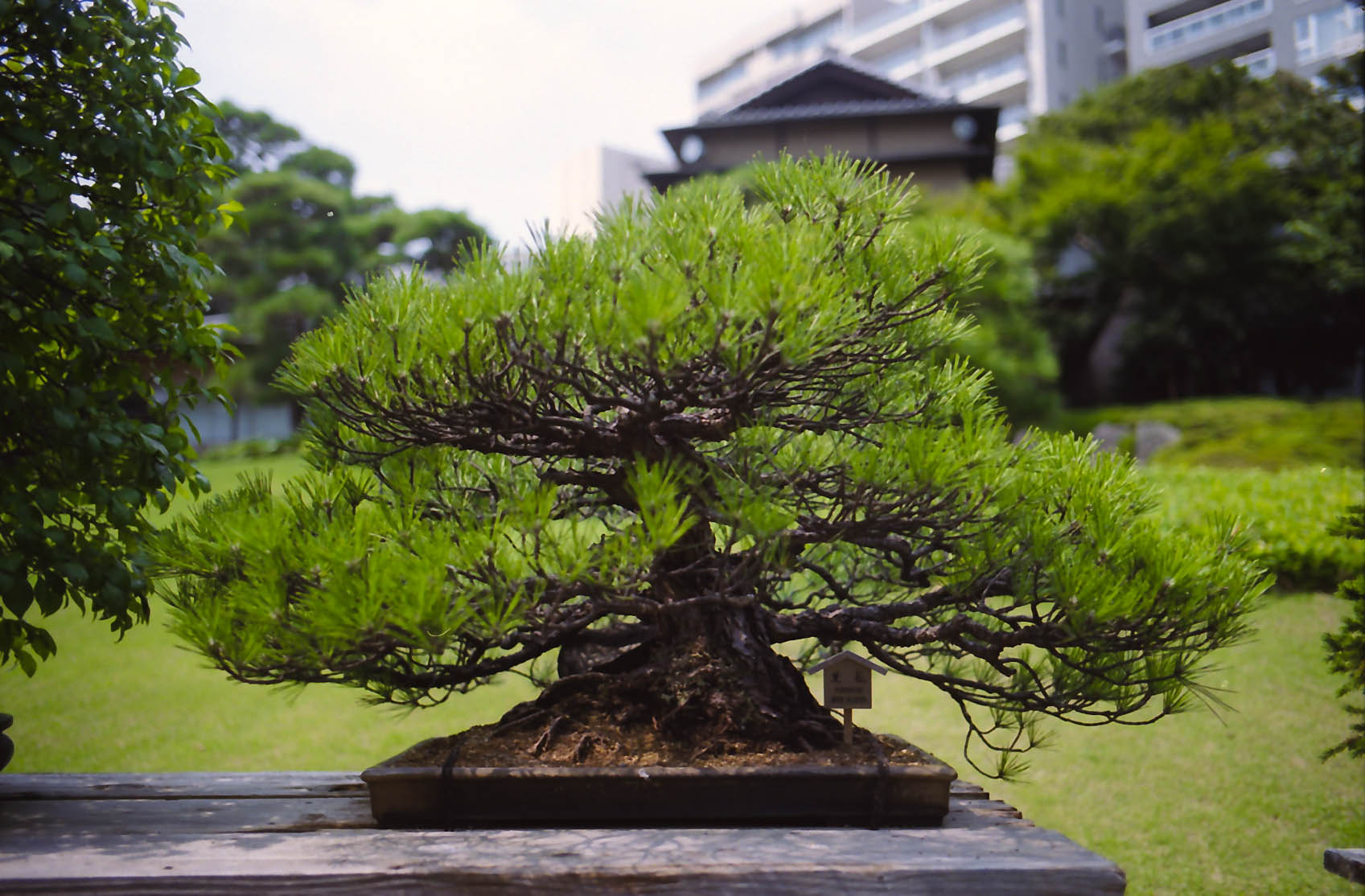5 Oldest Bonsai Trees In The World Bonsai Tree Gardener