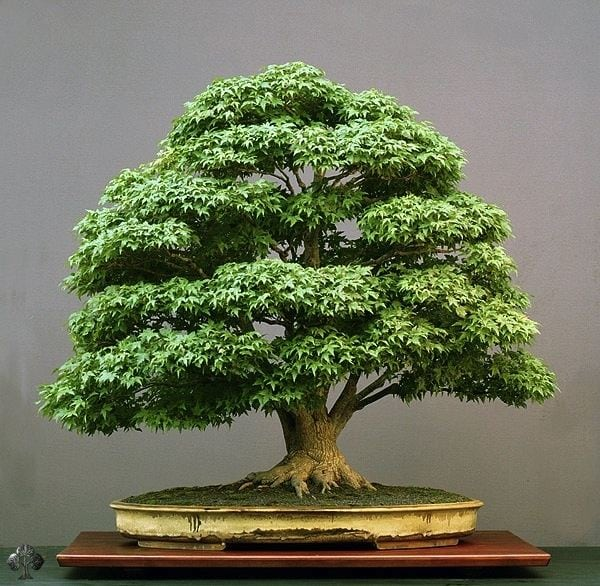 How To Keep Bonsai Tree Leaves Small Bonsai Tree Gardener