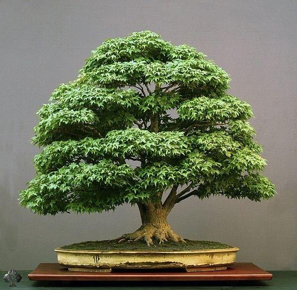 How To Keep Bonsai Tree Leaves Small Bonsai Tree Gardener