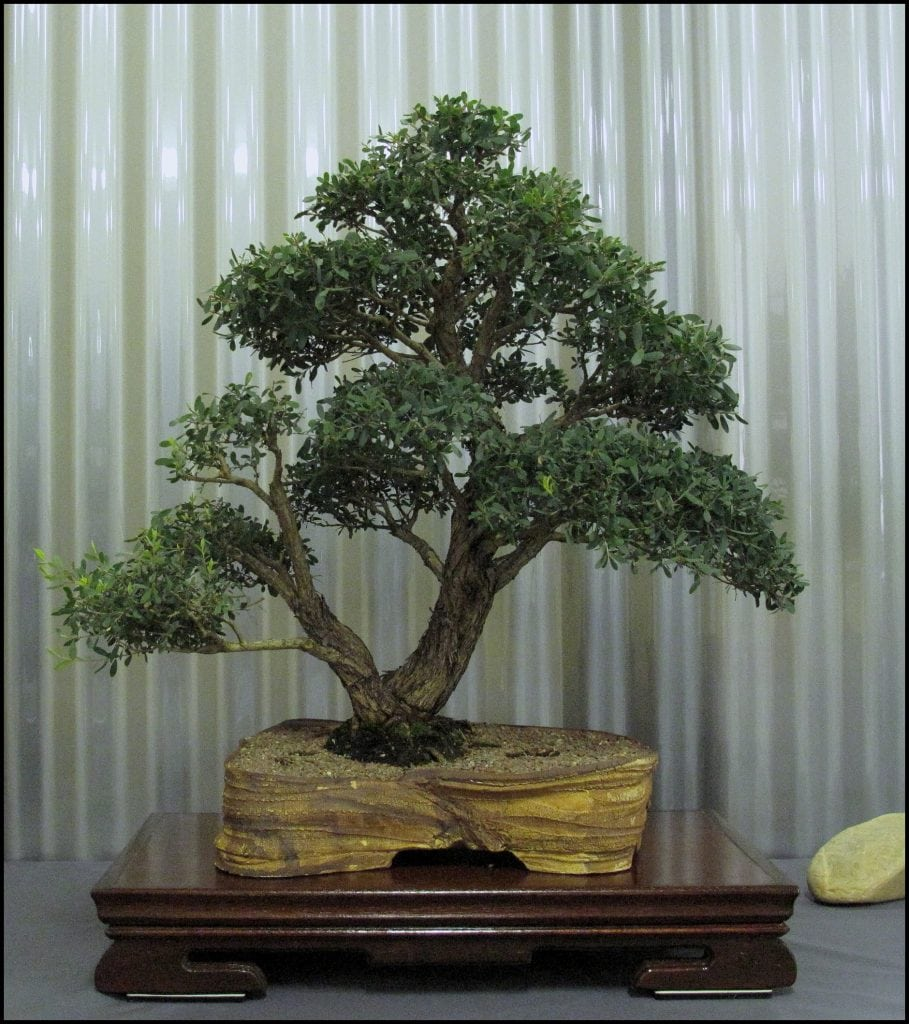 How To Keep Bonsai Leaves Small