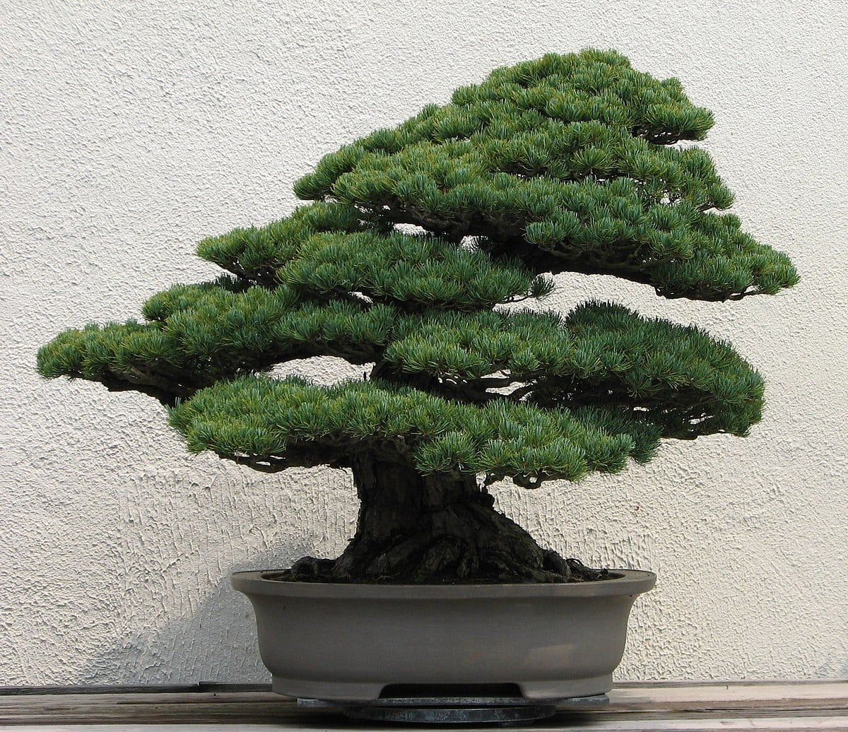 How To Make A Bonsai Tree Gardener Wiring In