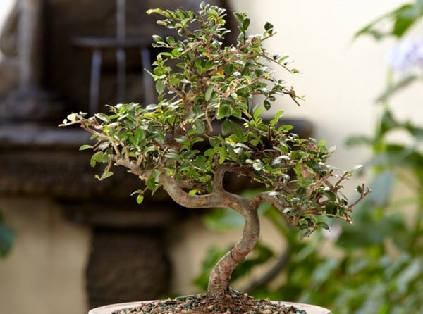 how to choose a bonsai tree